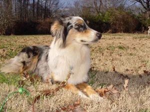 Australian-Shepherd-Training